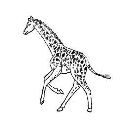 Giraffe 02 gross