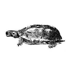 Schildkröte 04