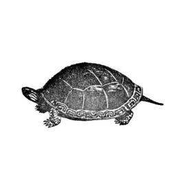 Schildkröte 5